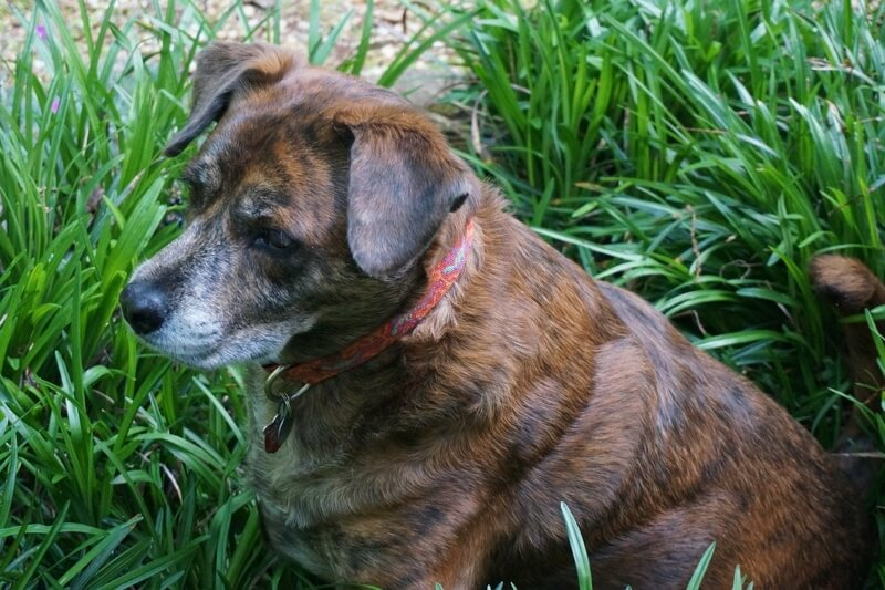 how to prevent toxic plants ingestions by dogs _ senior dog with a red and orange collar sitting outside