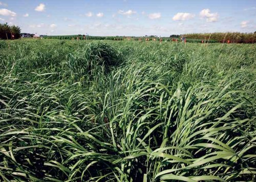 Switchgrass: A ten-year reference genome in the making