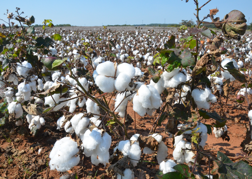 Researchers work toward incredible cotton improvements through genetics