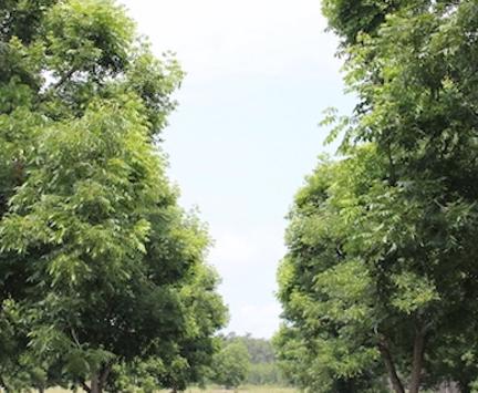 Using genomics to improve our future pecan trees