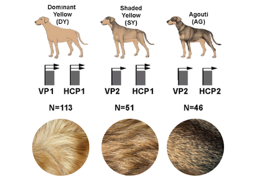 Genetic elements controlling fur color reveal a connection between dogs, wolves, and an extinct species