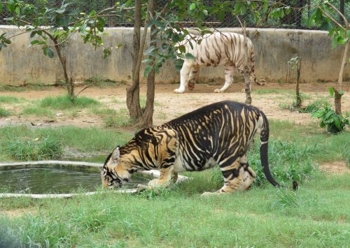 Can disappearing tiger stripes save a disappearing population of tigers?