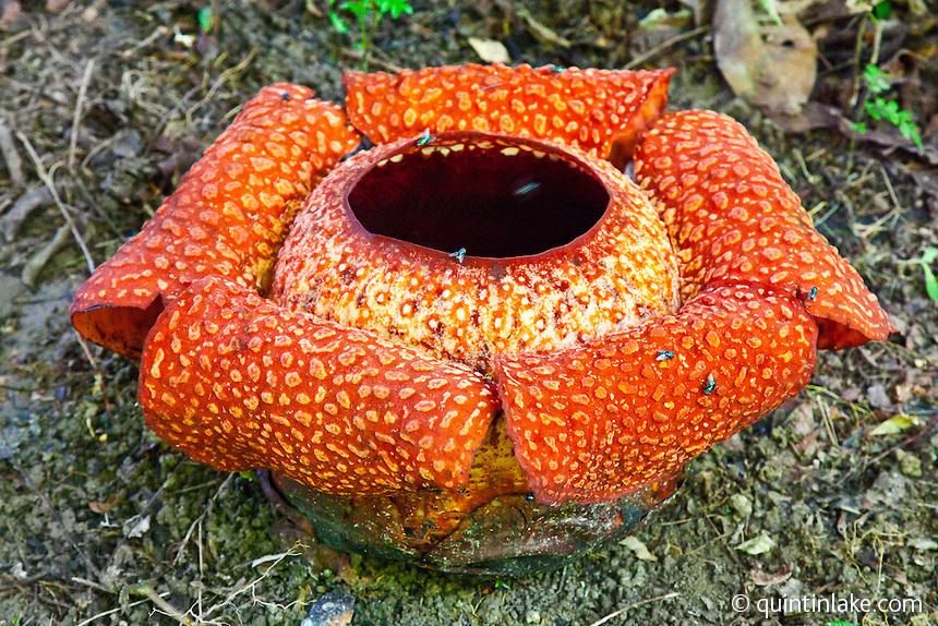 Hugabug 12 Carrion Flowers L I Z W A S O N