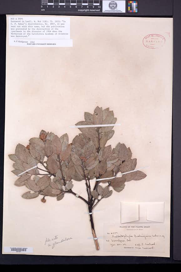 Image of Arctostaphylos cushingiana