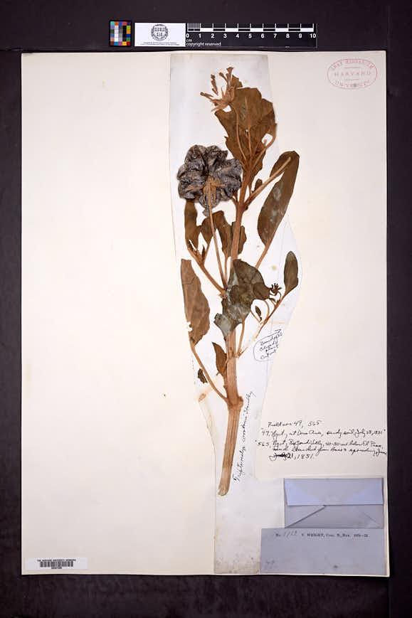 Tripterocalyx carneus image