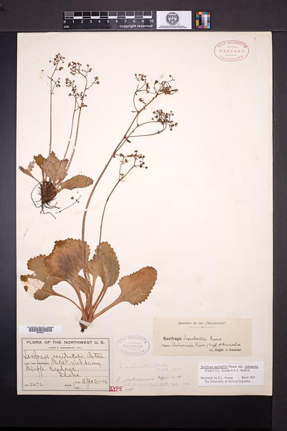 Image of Micranthes idahoensis