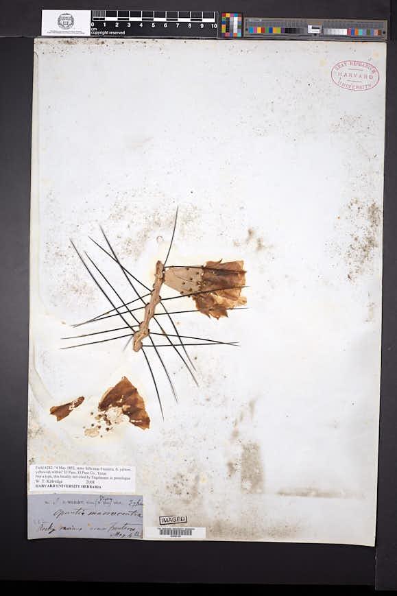 Opuntia macrocentra image
