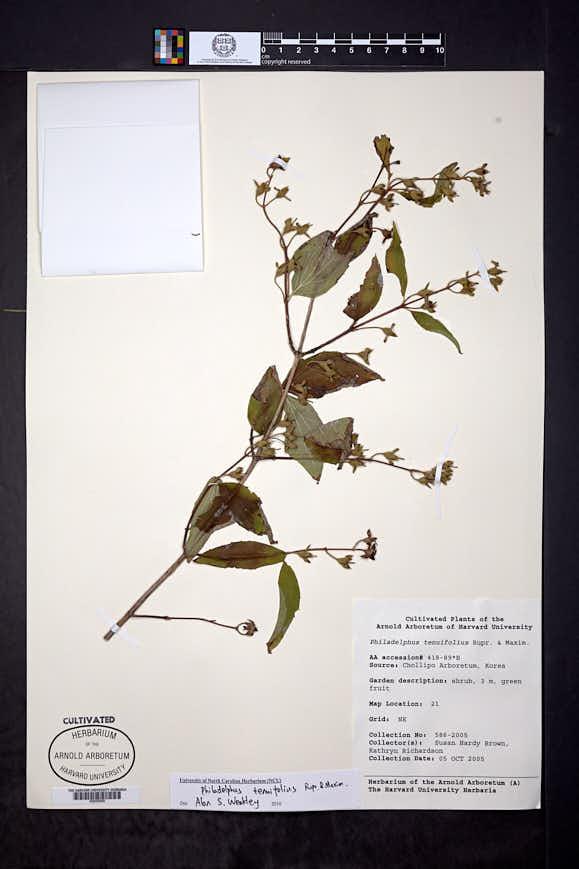 Philadelphus tenuifolius image