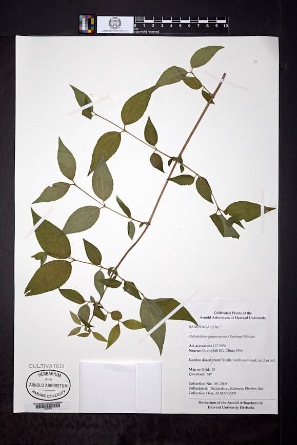 Image of Philadelphus purpurascens