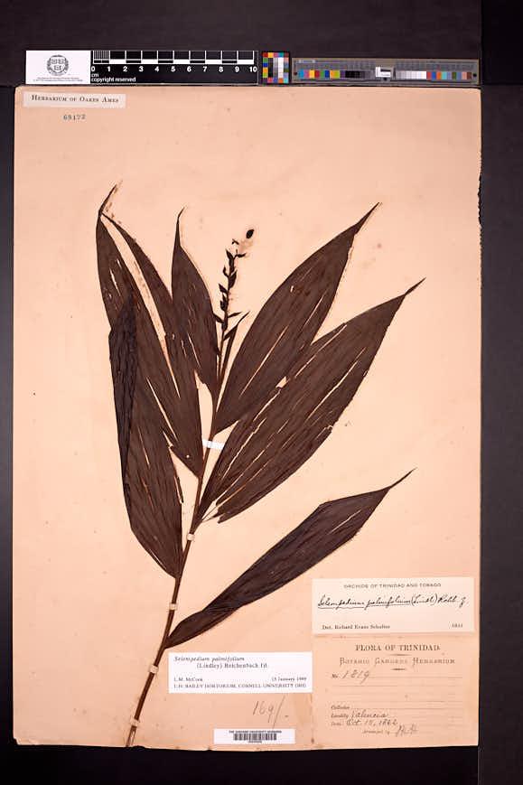 Image of Selenipedium palmifolium