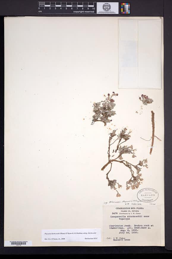 Image of Physaria hitchcockii