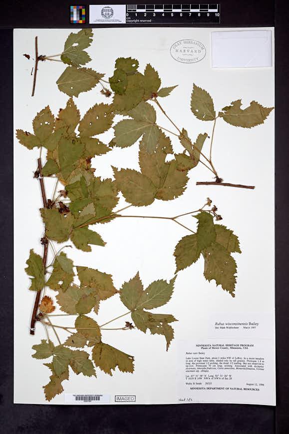 Rubus wisconsinensis image