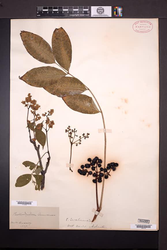 Phellodendron amurense image