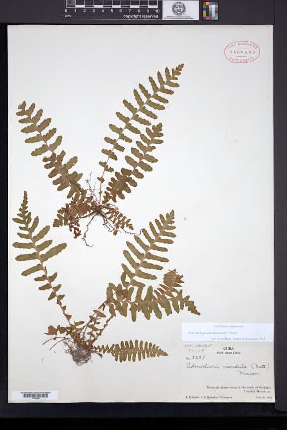 Image of Polystichum glandulosum