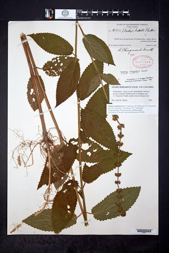 Stachys clingmanii image