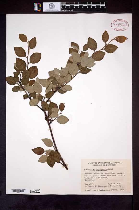 Cotoneaster melanocarpus image