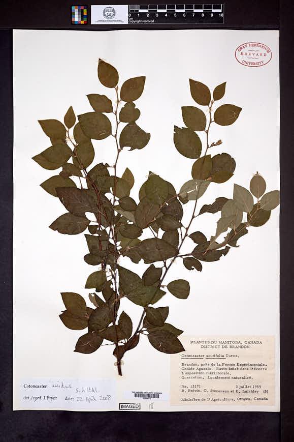 Cotoneaster lucidus image