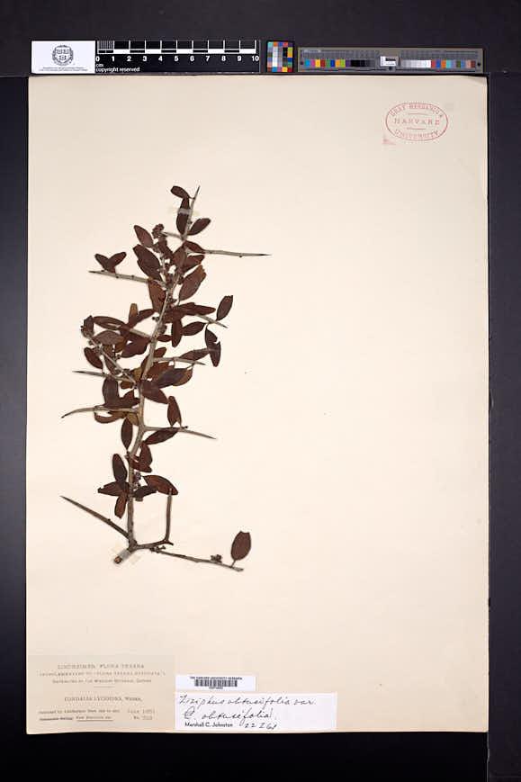 Ziziphus obtusifolia var. obtusifolia image