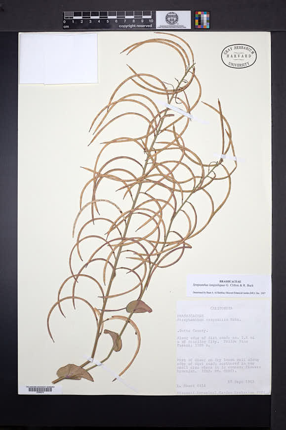 Image of Streptanthus longisiliquus