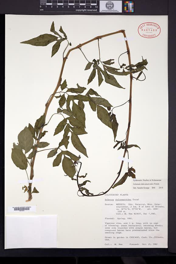 Image of Solanum dulcamaroides