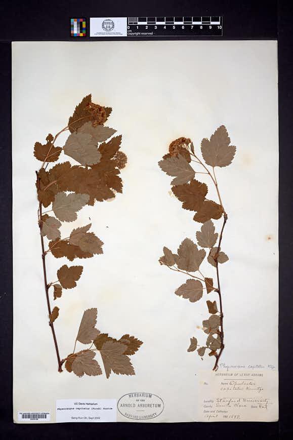 Physocarpus capitatus image