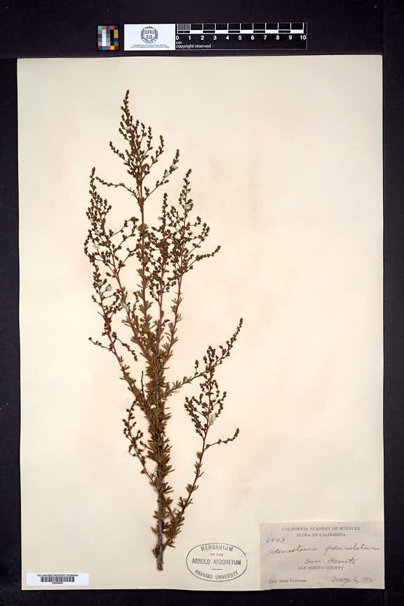 Adenostoma fasciculatum image