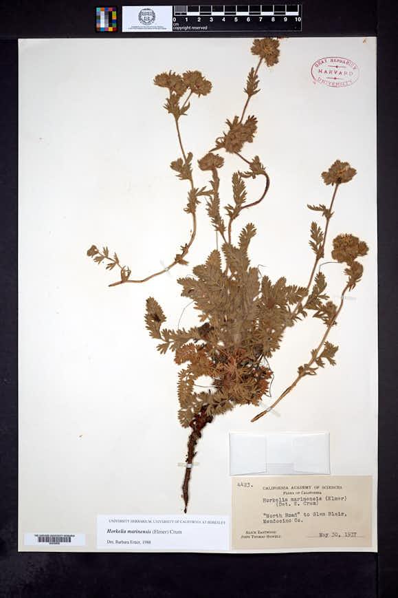 Image of Horkelia marinensis