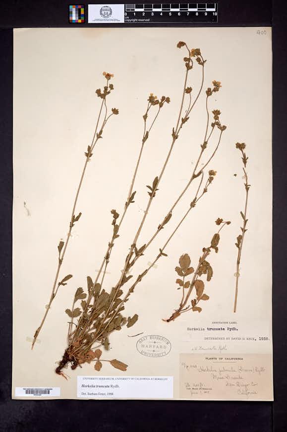 Image of Horkelia truncata