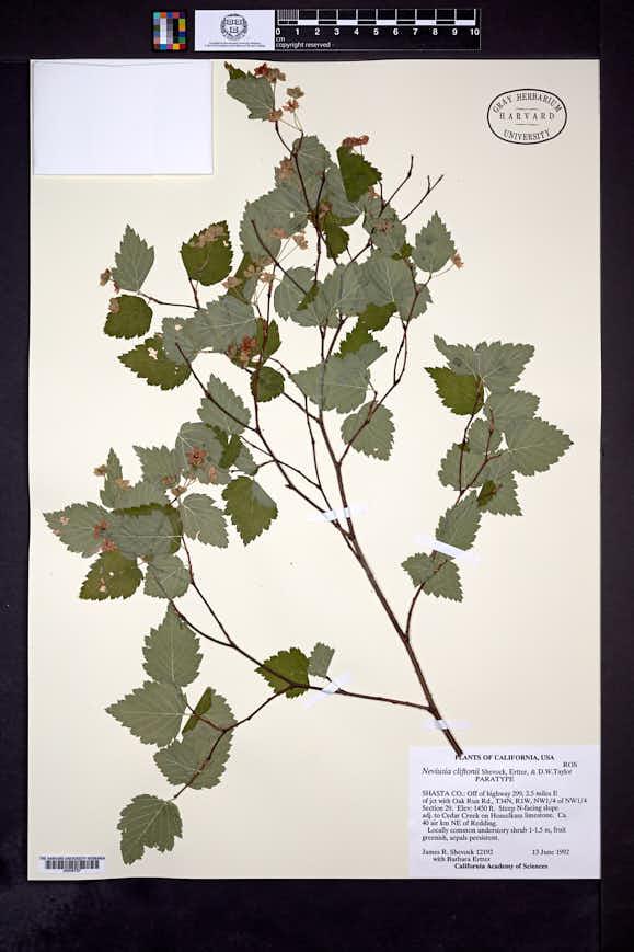 Neviusia cliftonii image