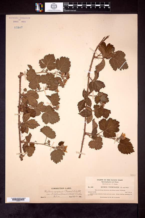 Rubus ursinus image