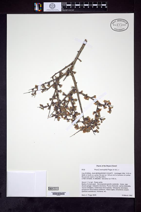 Prunus eremophila image