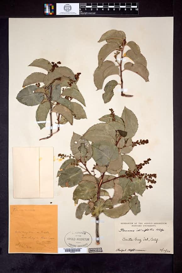Prunus ilicifolia image