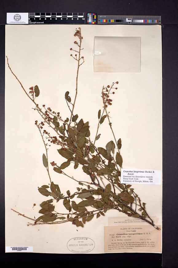 Ceanothus integerrimus image