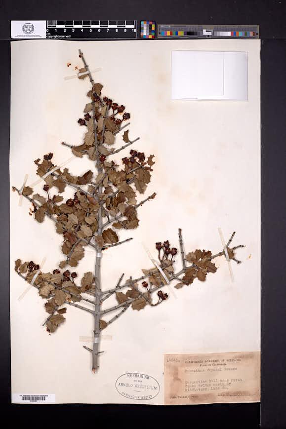 Ceanothus jepsonii image
