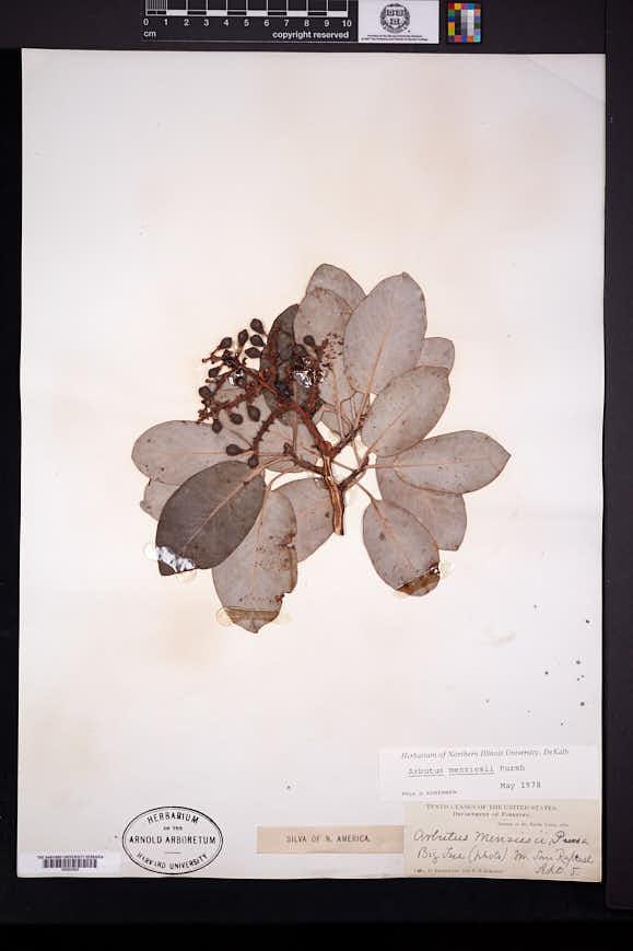 Arbutus menziesii image