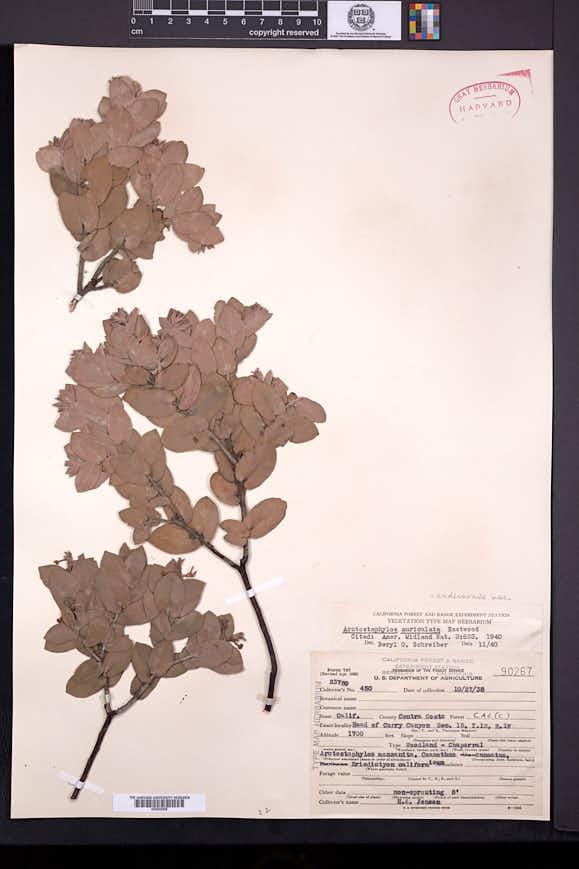 Arctostaphylos auriculata image