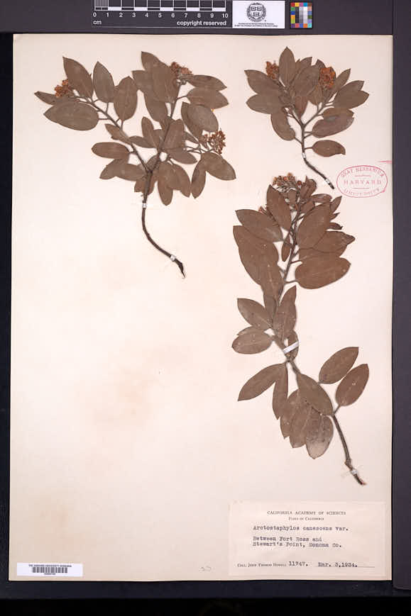 Arctostaphylos canescens image
