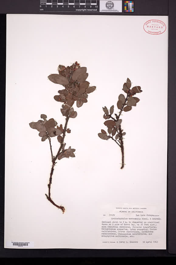 Image of Arctostaphylos morroensis