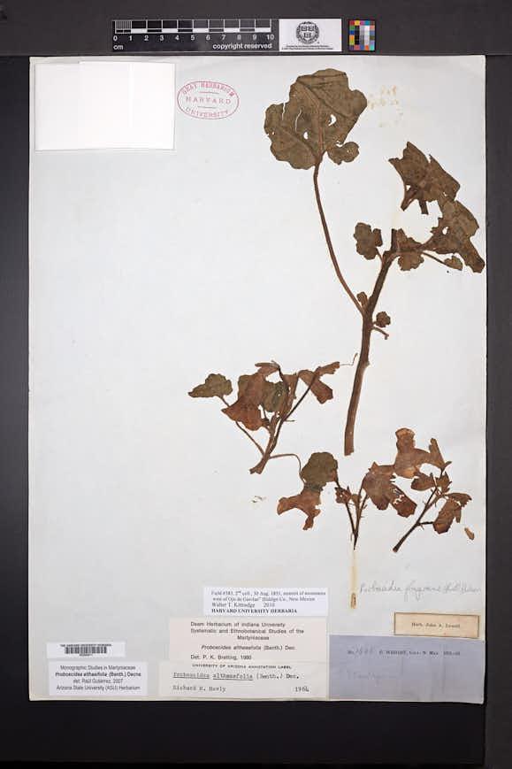 Proboscidea altheifolia image