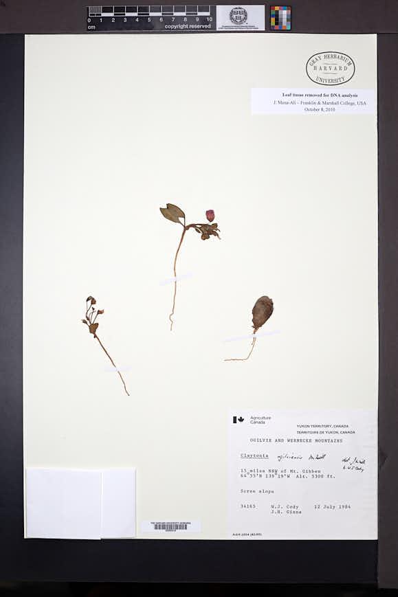 Image of Claytonia ogilviensis