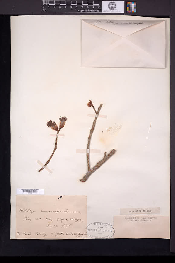 Pseudotsuga macrocarpa image
