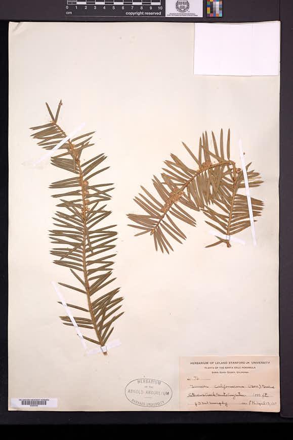 Torreya californica image