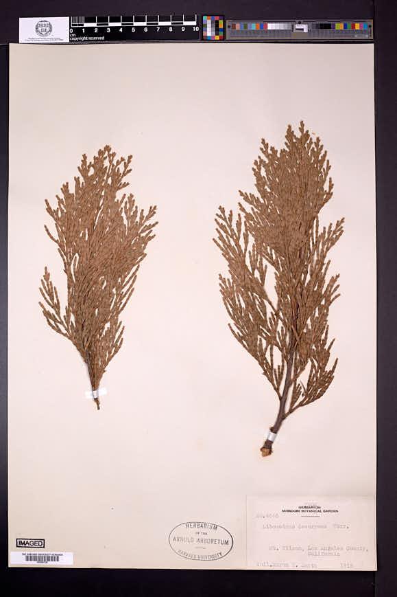 Calocedrus decurrens image