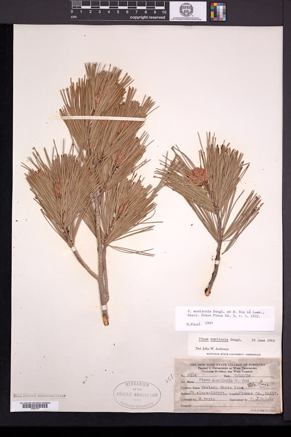 Pinus monticola image