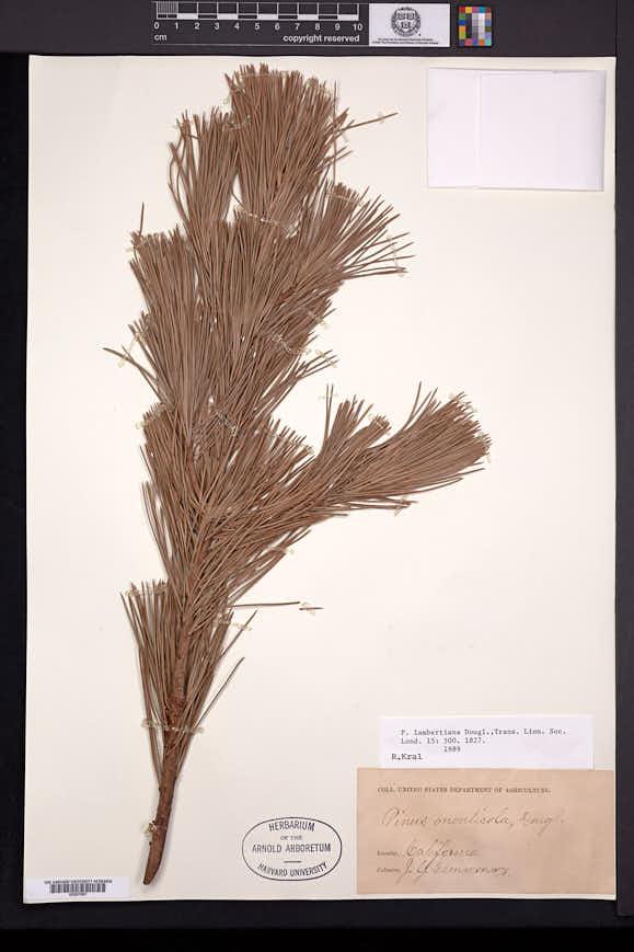 Pinus lambertiana image