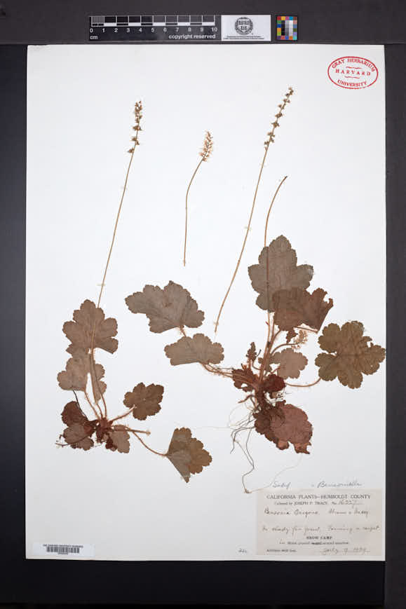 Image of Bensoniella oregona