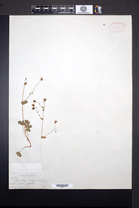 Bolandra californica image