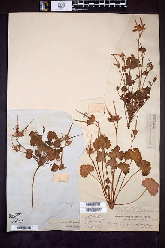 Image of California macrophylla