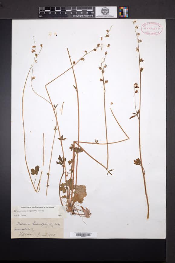 Image of Lithophragma campanulatum