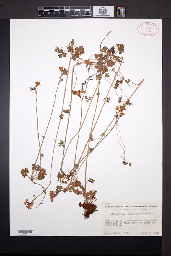 Image of Lithophragma trifoliatum
